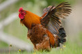Domestic fowl Royalty Free Stock Images