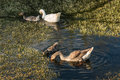 Domestic geese with goslings Royalty Free Stock Photo