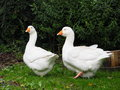 Domestic Geese In Ireland Royalty Free Stock Photo