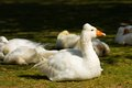 Domestic geese are in the paddock Stock Images