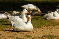 Domestic geese are in the paddock Royalty Free Stock Photo