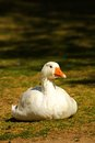 Domestic geese are in the paddock Stock Photography