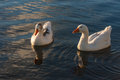 Domestic geese on river Royalty Free Stock Photo
