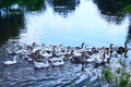 Domestic geese swim on the river Royalty Free Stock Photo