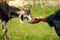 Domestic Goat Stock Photos