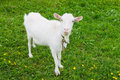 Domestic Goat- goatling Royalty Free Stock Photo