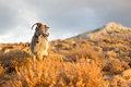 Domestic goat in mountains on greek mediterranean island crete dramatic warm light and weather before the sunset Royalty Free Stock Photography