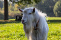 Domestic goat white standing on meadow closeup head and torso Stock Image
