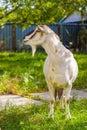 Goat life at village Royalty Free Stock Photo
