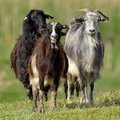 Domestic goats on field in spring cute Stock Photos