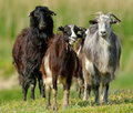 Domestic goats on field in spring cute Stock Images