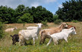 Domestic goats in nature Stock Images