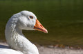 Domestic goose Stock Images
