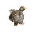 Domestic goose adult waterfowl rural farm isolated on white background Stock Photography