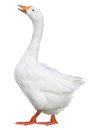Domestic goose, Anser domesticus, isolated on white background Royalty Free Stock Photo