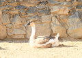 Domestic goose female sitting on ground in front of stone wall of farm Royalty Free Stock Photo