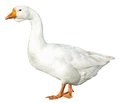 Domestic goose isolated on white background Royalty Free Stock Photo