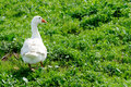 Domestic goose on a meadow grazing Stock Image