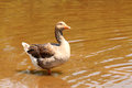 Domestic goose on a pond Stock Image