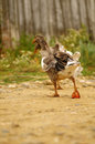Domestic goose walking on a country road Stock Images
