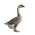 Domestic goose on white background isolated Stock Images
