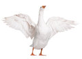 Domestic goose white isolated on white background Royalty Free Stock Photography