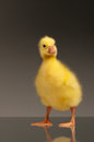 Domestic gosling Stock Image