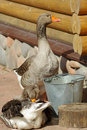Domestic grey gooses Stock Photo