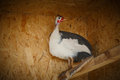 Domestic guinea fowl with a white breast plumage on the chest Royalty Free Stock Photography