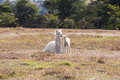 Domestic llama white and his cute baby Royalty Free Stock Images