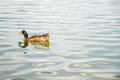 Domestic Mallard Duck Swimming...