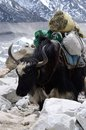 Domestic nepalese yak with swastika symbol himalayas everest himalaya mountains region Stock Photo