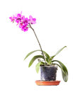 Domestic orchid flower in pot isolated on white pink Stock Photos