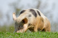Domestic pig Royalty Free Stock Photos