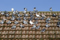 Domestic pigeon columba livia domestica group on roof wiltshire january Stock Image