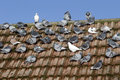 Domestic pigeon columba livia domestica group on roof wiltshire january Royalty Free Stock Photo