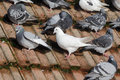 Domestic pigeon columba livia domestica group on roof wiltshire january Royalty Free Stock Images
