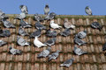 Domestic pigeon columba livia domestica group on roof wiltshire january Royalty Free Stock Photos