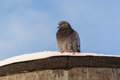 Domestic pigeon on a snowy rooftop Royalty Free Stock Photo