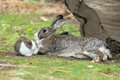 Domestic rabbit the couple of lying rabbits Royalty Free Stock Image