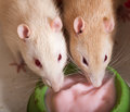 Domestic rats eating yogurt Royalty Free Stock Photo