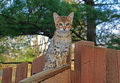 Domestic serval savannah kitten a spotted gold colored on a wooden fence with green eyes Stock Photography
