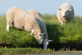 Domestic sheep a flock of at a waterhole Stock Images