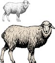 Domestic sheep this image is a vector illustration and can be scaled to any size without loss of resolution can be variated and Stock Image