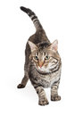 Domestic shorthair tabby cat stalking a in a position Royalty Free Stock Photos