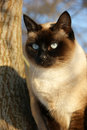 Domestic siamese cat outdoors Stock Photos