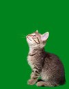 Domestic Tabby Cat Cutout Royalty Free Stock Image