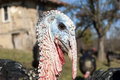 Domestic turkey closeup free range head in mountain farmyard Stock Photography