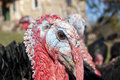 Domestic turkey closeup free range head in mountain farmyard Royalty Free Stock Image