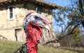 Domestic turkey closeup free range head in mountain farmyard Royalty Free Stock Photography